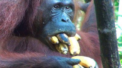 Caloian Gheorghe se poartă ca o gorilă - mănâncă ce-i dau infractorii